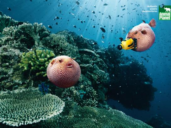 Animal Planet Print Ad -  Blowfish